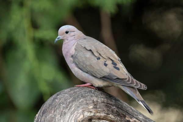 Doves and Pigeons